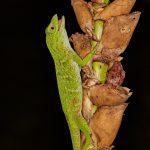 8004 Green Tree Anole, Costa Rica
