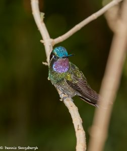 8024 Purple-throated Mountain Gem (Lampornis calolaemus), La Paz Waterfall Gardens, Costa Rica