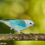 8022 Blue-gray Tanager (Thraupis episcopus), Laguna del Lagarto, Costa Rica