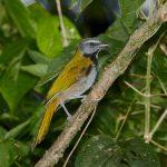 8027 Buff-throated Saltator (Saltator maximus), Arenal Oasis Lodge, Costa Rica