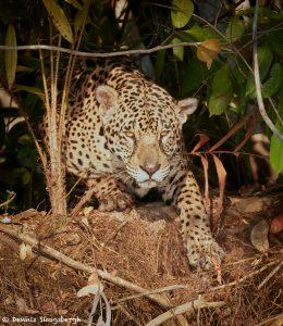 8038 Jaguar (Panthera onca), Pantanal, Brazil