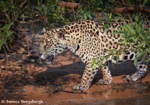 aguar (Panthera onca), Pantanal, Brazil