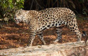 8043 Jaguar (Panthera onca), Pantanal, Brazil
