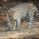 8044 Jaguar (Panthera onca), Pantanal, Brazil