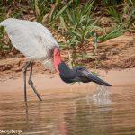 8046 Jabiru (Jabiru mycteria), Pantanal, Brazil