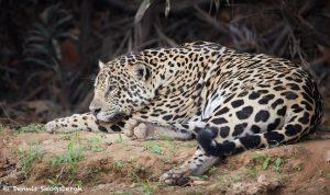 8047 Jaguar (Panthera onca), Pantanal, Brazil