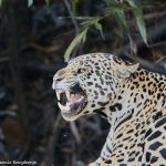 8048 Jaguar (Panthera onca), Pantanal, Brazil