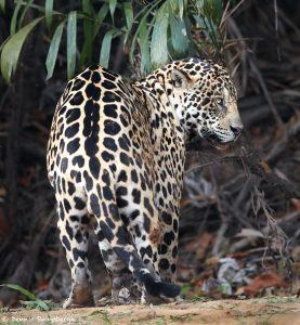 8049 Jaguar (Panthera onca), Pantanal, Brazil