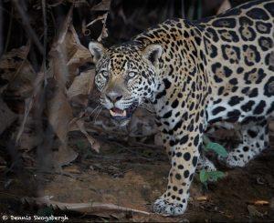 8051 Jaguar (Panthera onca), Pantanal, Brazil