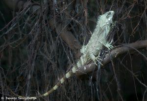8059 Green iguana (Iguana iguana), Pantanal, Brazil