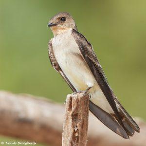 8061 Rough-winged Swallow, Pantanal, Brazil