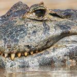 8062 Caiman, Pantanal, Brazil