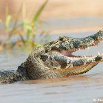 8063 Caiman, Pantanal, Brazil