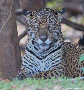 8064 Jaguar (Panthera onca), Pantanal, Brazil