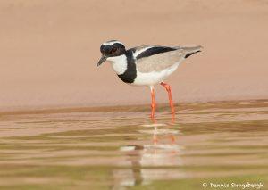 8066 Pied Plover (Hoploxypterus cayanus), Pantanal, Brazil