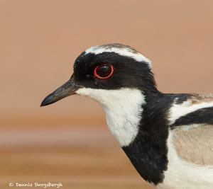 8067 Pied Plover (Hoploxypterus cayanus), Pantanal, Brazil
