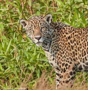 8068 Jaguar (Panthera onca), Pantanal, Brazil