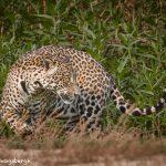 8069 Jaguar (Panthera onca), Pantanal, Brazil