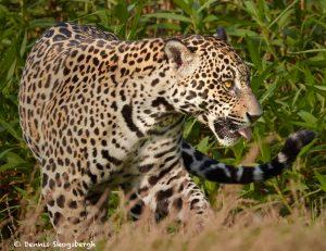 8070 Jaguar (Panthera onca), Pantanal, Brazil