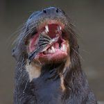 8074 Giant River Otter (Pteronura brasiliensis), Pantanal, Brazil