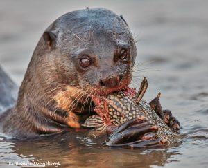 8075 Giant River Otter (Pteronura brasiliensis), Pantanal, Brazil