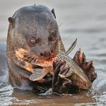 8076 Giant River Otter (Pteronura brasiliensis), Pantanal, Brazil