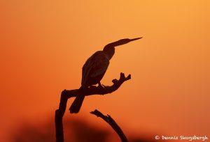 8078 Anhinga (Anhinga anhinga), Pantanal, Brazil