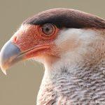 8080 Southern Crested Caracara (Caracara plancus), Pantanal, Brazil