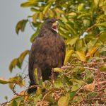 8081 Great Black Hawk (buteogallus urubitinga), Pantanal, Brazil