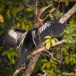 8082 Anhinga (Anhinga anhinga), Pantanal, Brazil