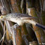 8083 Guira Cuckoo (Guira guira), Pantanal, Brazil