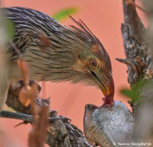 8084 Guira Cuckoo (Guira guira), Pantanal, Brazil