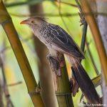 8085 Guira Cuckoo (Guira guira), Pantanal, Brazil