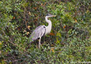 8087 Cocoi Heron (Ardea cocoi), Pantanal, Brazil