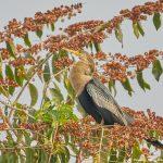 8091 Anhinga (Anhinga anhinga), Pantanal, Brazil