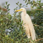 8092 Great Egret (Ardea alba), Pantanal, Brazil