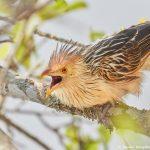 8096 Guira Cuckoo (Guira guira), Pantanal, Brazil