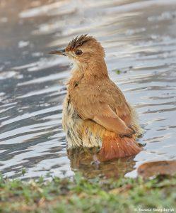 8097 Rufous Horneo (Furmarius rufus), Pantanal, Brazil