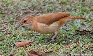 8098 Rufous Horneo (Furmarius rufus), Pantanal, Brazil