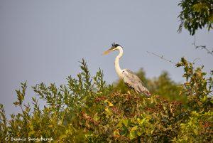 8100 Cocoi Heron (Ardea cocoi), Pantanal, Brazil