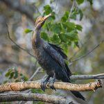 8101 Neotropic Cormorant (Phalacrocorax brasilianus), Pantanal, Brazil