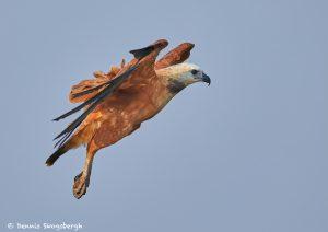 8102 Black-collard Hawk (Busarellus nignicollis), Pantanal, Brazil