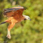 8103 Black-collard Hawk (Busarellus nignicollis), Pantanal, Brazil