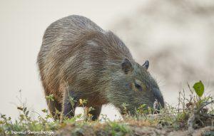 8104 Capybara (Hydrochoerus hydrochaeris), Pantanal, Brazil