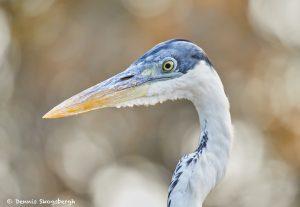 8105 Cocoi Heron (Ardea cocoi), Pantanal, Brazil