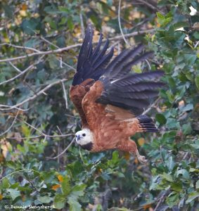 8106 Black-collard Hawk (Busarellus nignicollis), Pantanal, Brazil