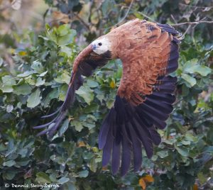 8107 Black-collard Hawk (Busarellus nignicollis), Pantanal, Brazil