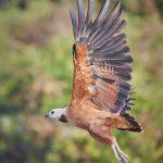 8108 Black-collard Hawk (Busarellus nignicollis), Pantanal, Brazil