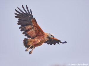 8113 Black-collard Hawk (Busarellus nignicollis), Pantanal, Brazil