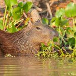 8114 Capybara (Hydrochoerus hydrochaeris), Pantanal, Brazil